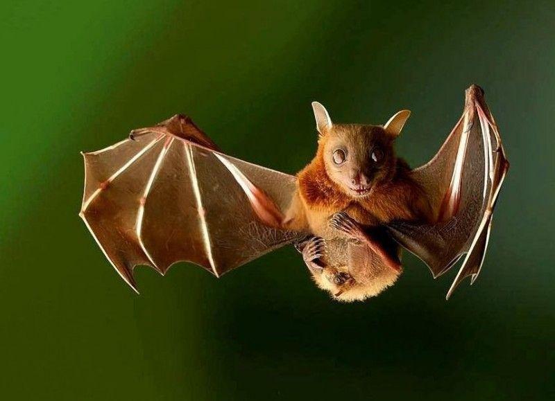 murciélago de la fruta