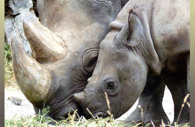 reproducción rinoceronte negro