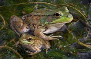Bullfrog 5 650x425 1 300x196 - Animales Exóticos