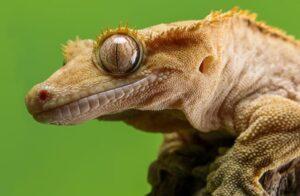Crested Gecko 2 650x425 1 300x196 - Animales Exóticos
