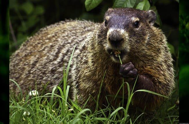 marmota comiendo