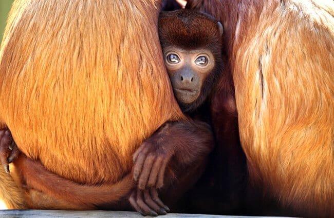 reproducción del mono aullador