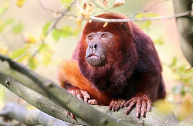hábitat del mono aullador