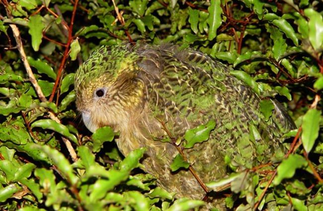Kakapo 5 650x425 1 - Animales Exóticos