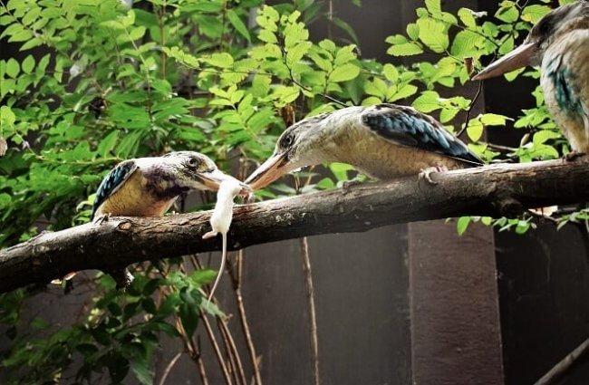 cucaburra comiendo