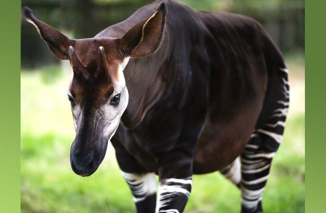 okapi características