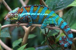Panther Chameleon 5 650x425 1 300x196 - Animales Exóticos