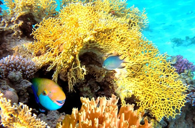 pez loro hábitat