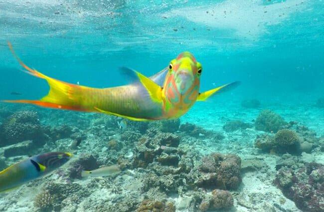 Parrotfish 4 650x425 1 - Animales Exóticos