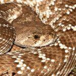 serpiente de cascabel portada