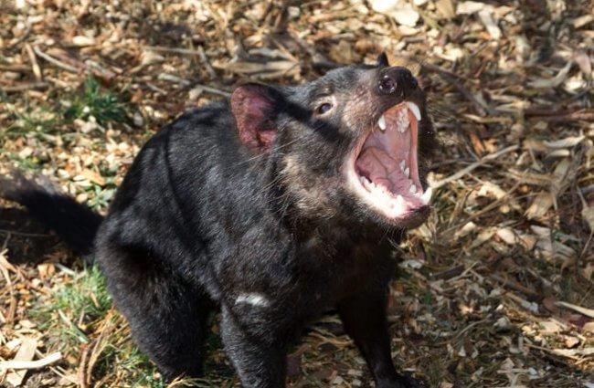 Tasmanian Devil 7 no attribute 1 650x425 1 - Animales Exóticos