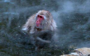 macaco japones 300x188 - Animales Exóticos