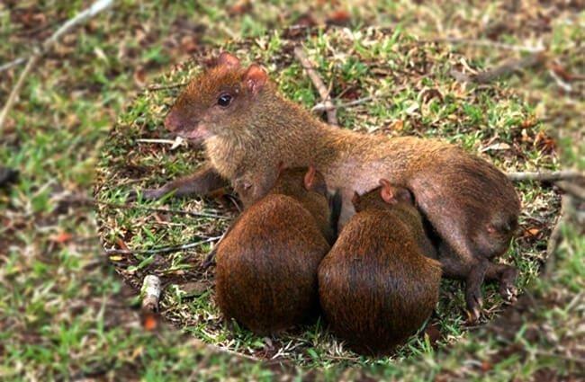 reproducción agouti