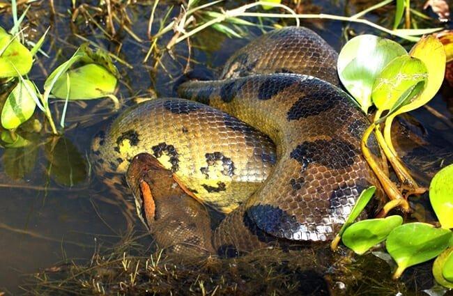 anaconda características