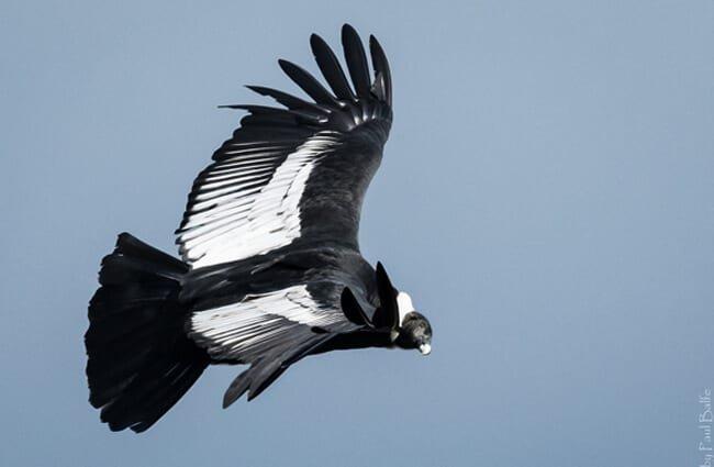 hábitat cóndor andino