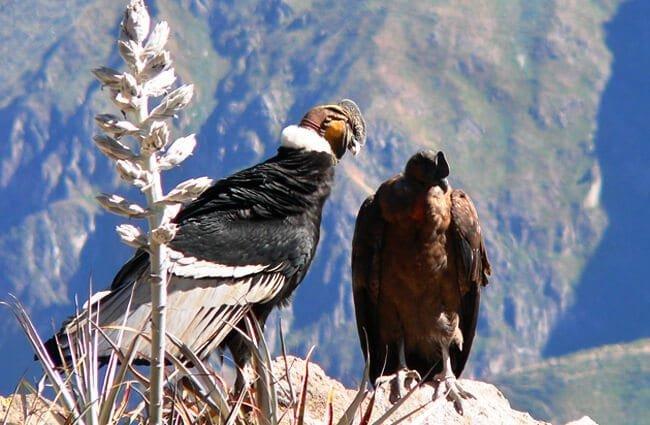 cóndor andino fobias
