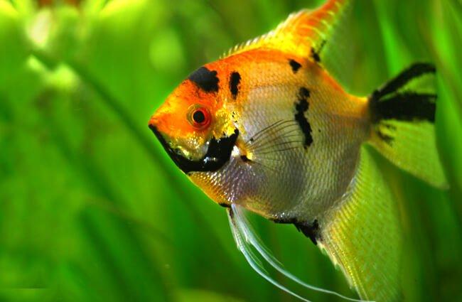 pez angel portada