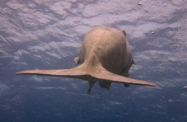 dugongo sirena