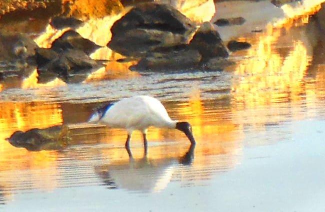 ibis alimentándose