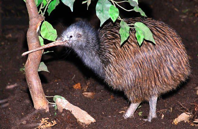 kiwi alimentación