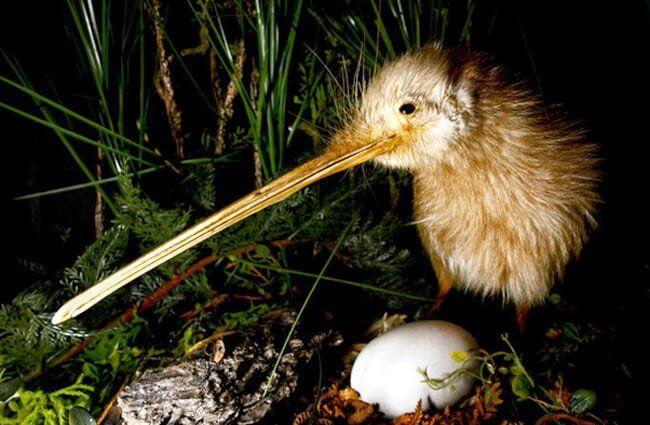 kiwi reproducción