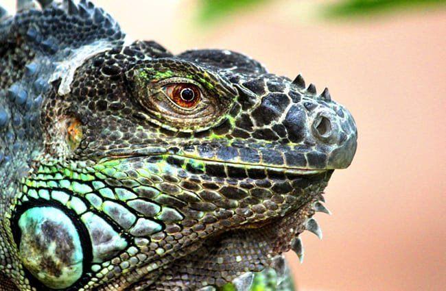 lagarto monitor características