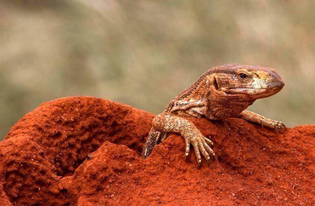 hábitat del lagarto cornudo