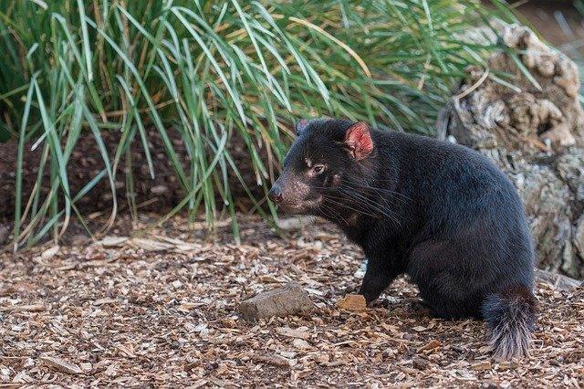 marsupiales 1