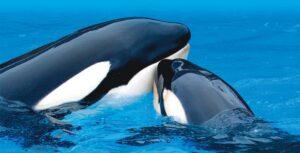 reproducción orca