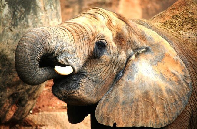 elefante africano home