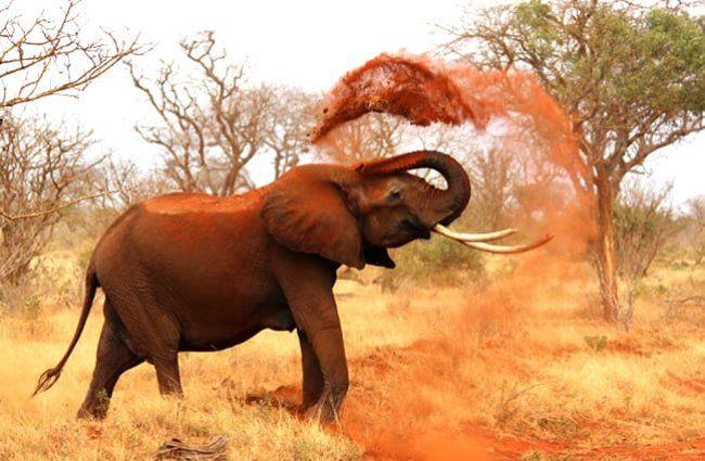 características elefante africano