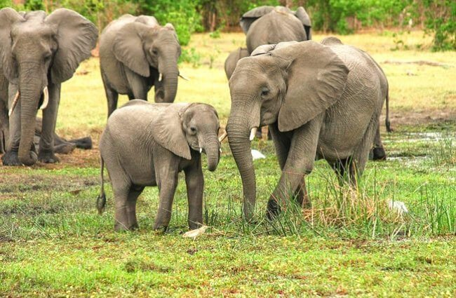elefante africano reproducción