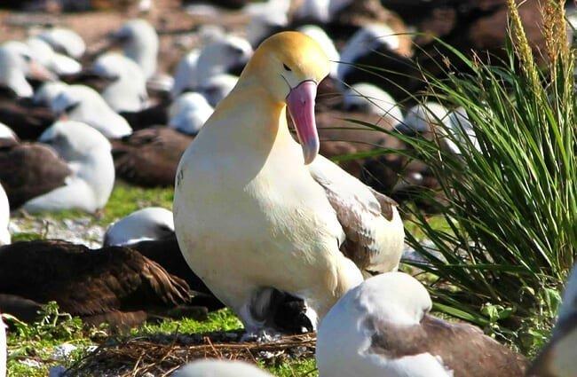 reproducción del albatros