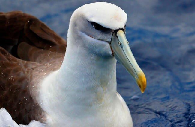 albatros características