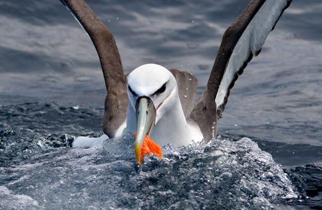 albatros home