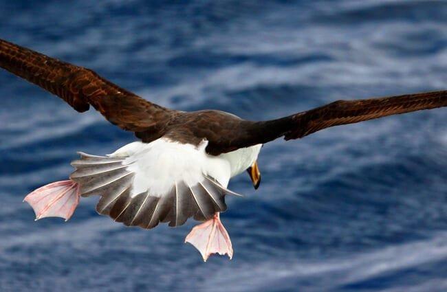 albatros hábitat