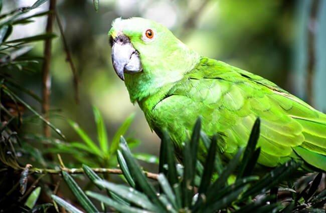 hábitat del loro del amazonas