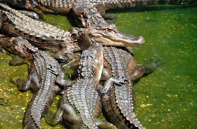 hábitat del caimán