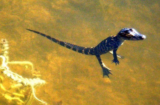 reproducción del caimán