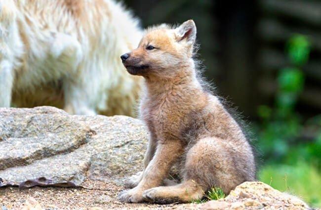 reproducción lobo ártico