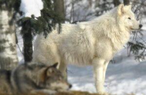 lobo ártico home