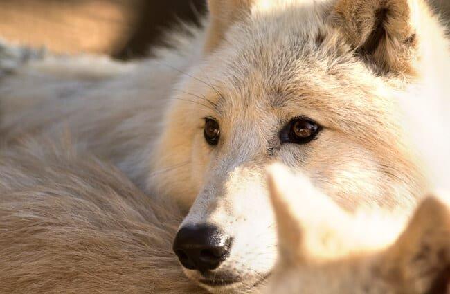 lobo ártico hábitat