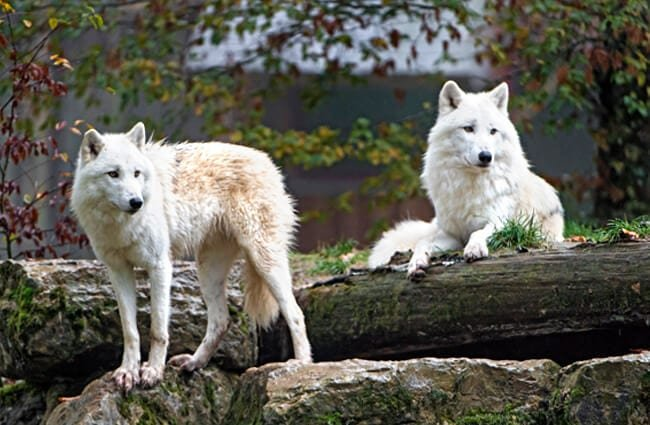 lobo ártico características