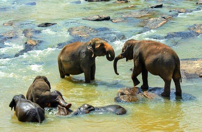 elefante asiático características
