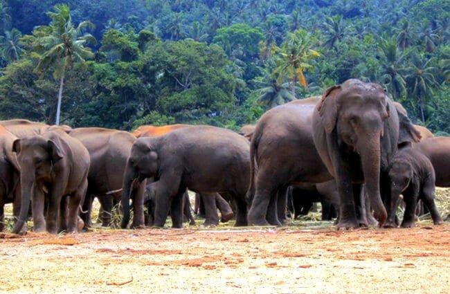 alimentación elefante asiático