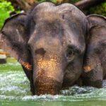elefante asiático home