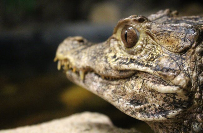 características del caimán