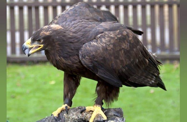 águila comiendo