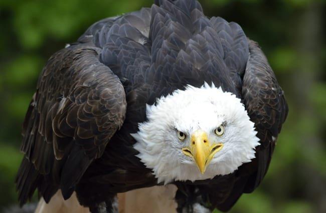 águila home