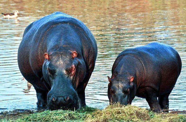 hábitat hipopótamo